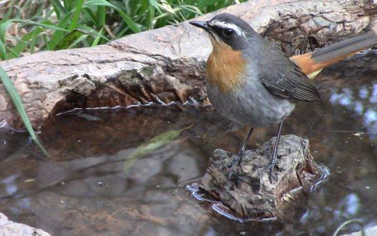 Robin-Chat, Cape