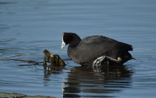 Coot, Red-knobbed