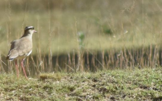 Lapwing, Crowned