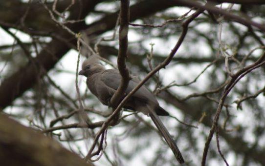 Go-away-bird, Grey