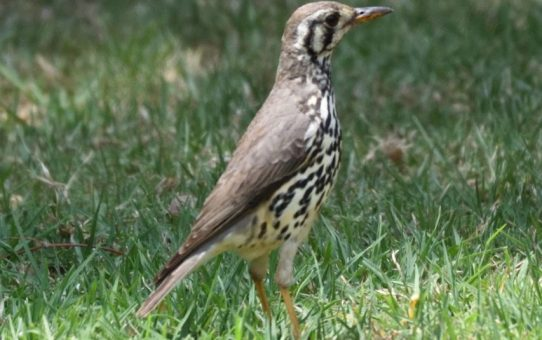 Thrush, Groundscraper