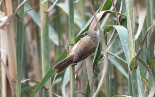 Swamp-warbler, Lesser
