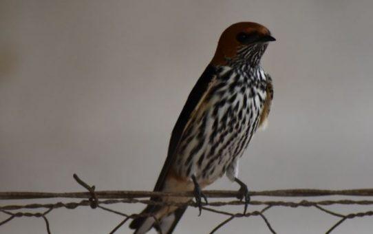 Swallows - 1