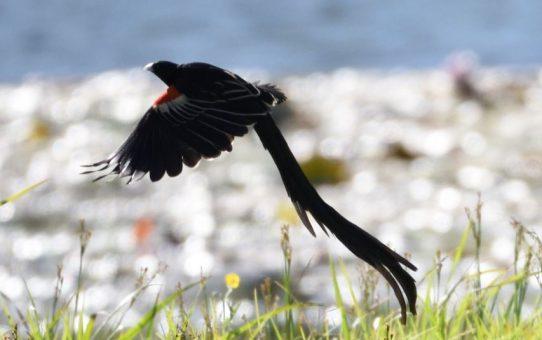 Widowbird, long-tailed
