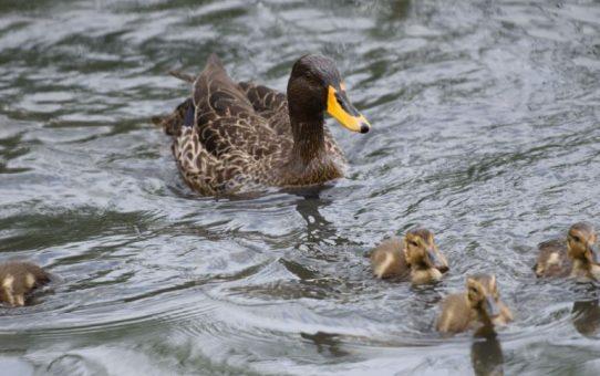 Duck, Yellow-billed