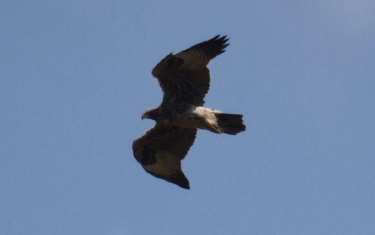 Eagle, Black