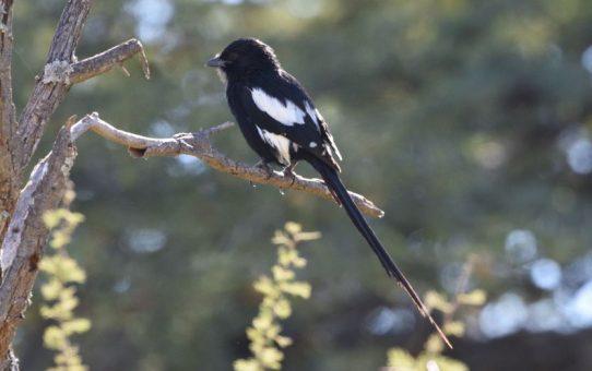 Shrike, Magpie