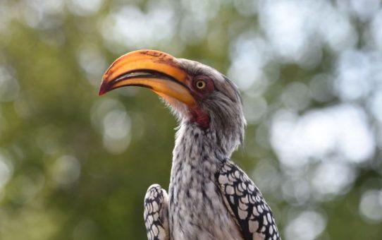 Hornbill, Southern Yellow-billed