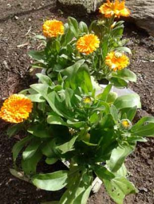 calendula plant and flowers for birds safe plants for birds