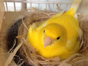 Breeding canaries in cages