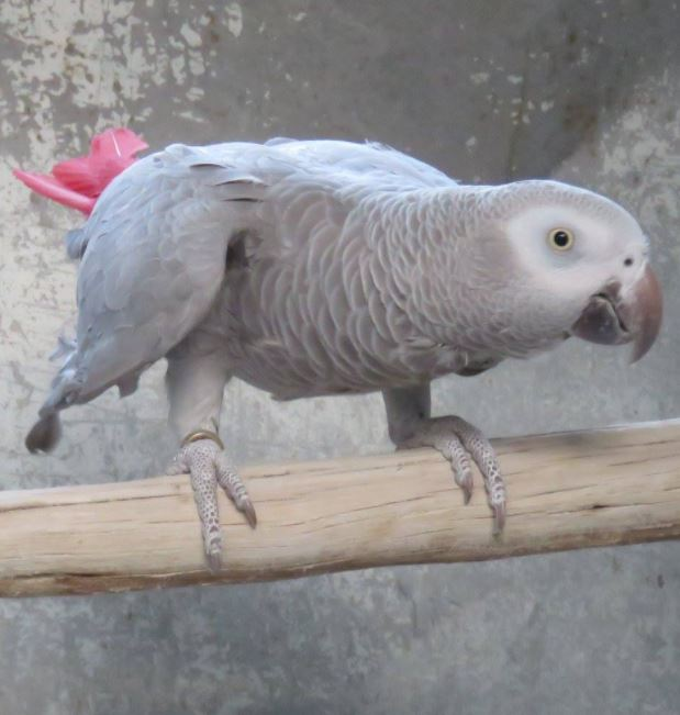 Cinnamon African Greys being bred by Brian Mills Davis in South Africa
