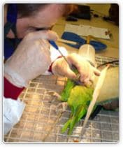 Endoscopy procedure for birds