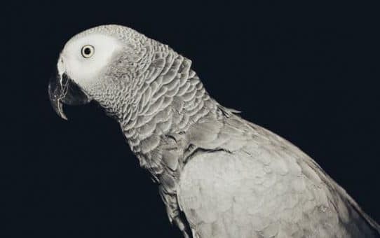 Do African Grey Parrots need dark cages to breed?