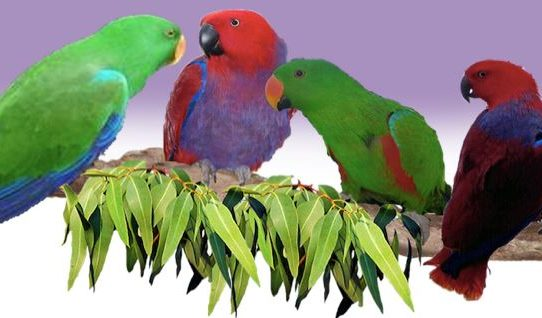 """Q & A: """"Better to breed Eclectus parrots in pairs or in a colony?"""" by Tony Silva"""