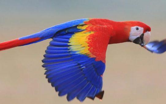 Scarlet macaw mediation