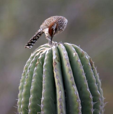 cactus wren endemic to Mexico