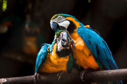 Which is the best way to set up a new pair of parrots?