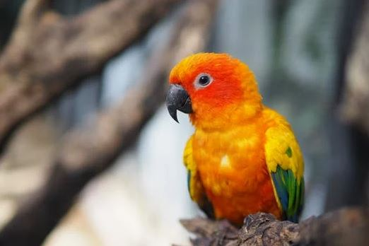 Why are some conures harder to breed than others?